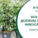 Всё, что вы должны знать о фикусах (ficus)  Ваш сад