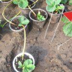 Как сажать клубнику усами в августе и сентябре? Советы профессионального садовода!